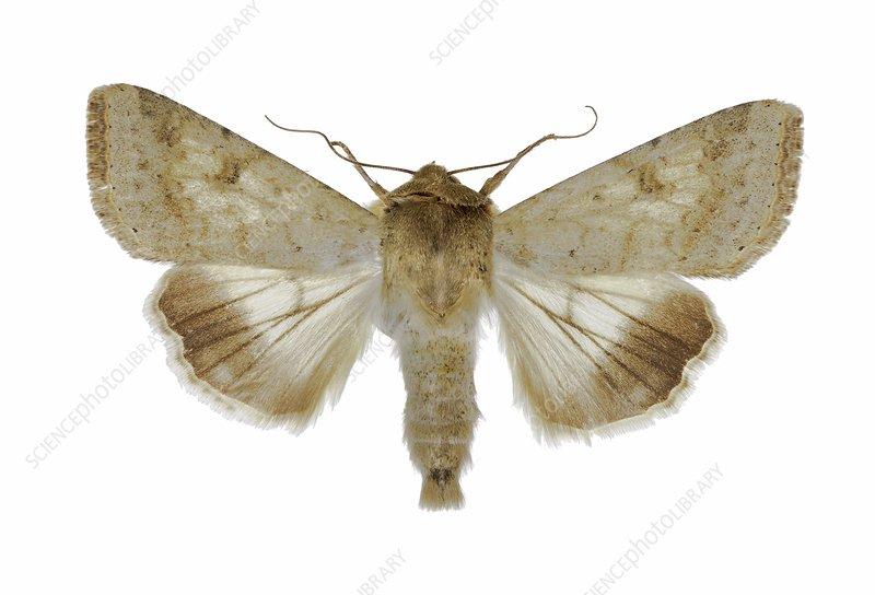 Cotton bollworm moth