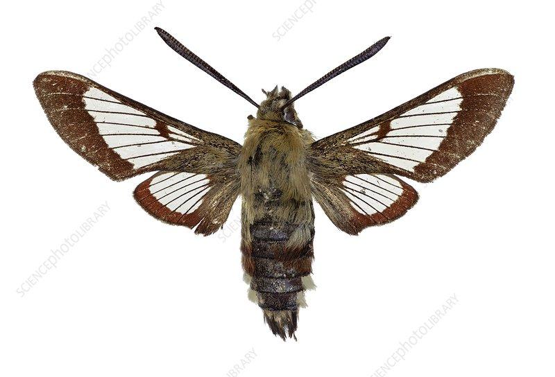 Broad-bordered bee hawkmoth