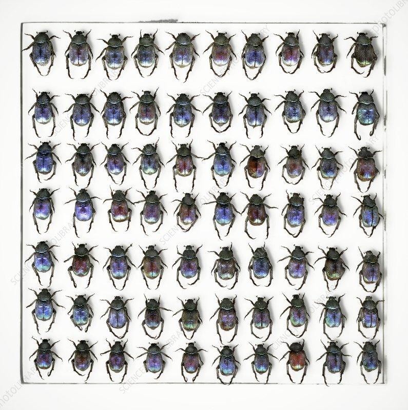 Hoplia coerulea scarab beetles
