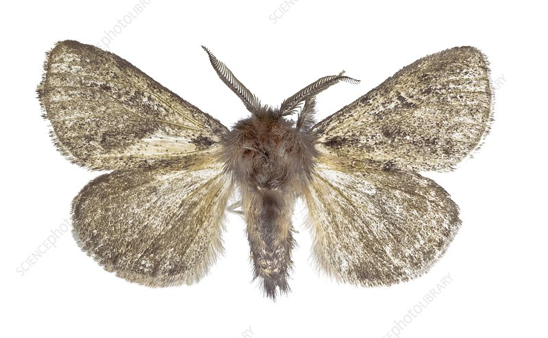 Lymantria atlantica moth