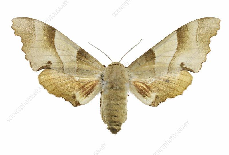 Oak hawk moth