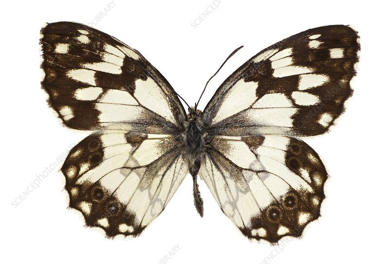 Iberian marbled white butterfly