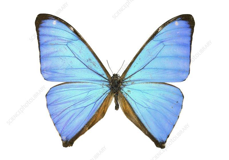 Aega morpho butterfly