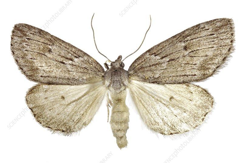 Horse chestnut moth