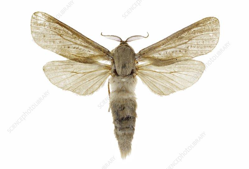 Reed leopard moth