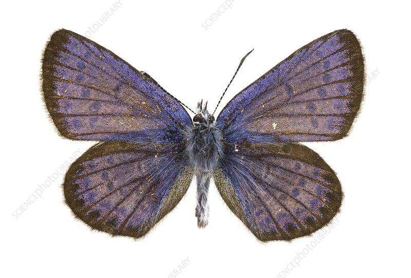 Idas blue butterfly