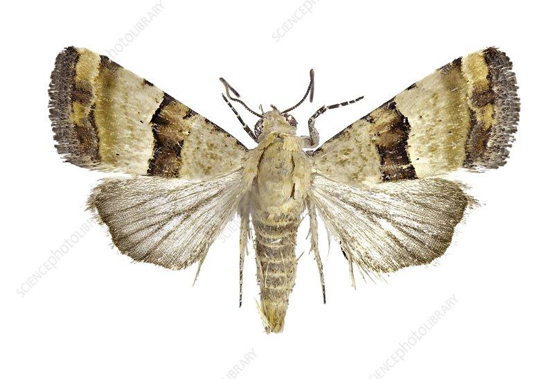 Pseudozarba bipartita moth