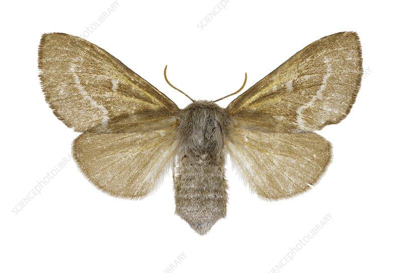 Psilogaster loti moth