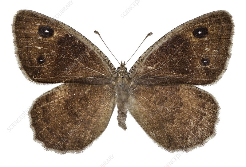 Black satyr butterfly