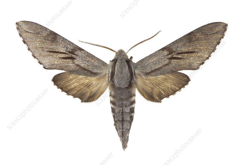 Southern pine hawk moth