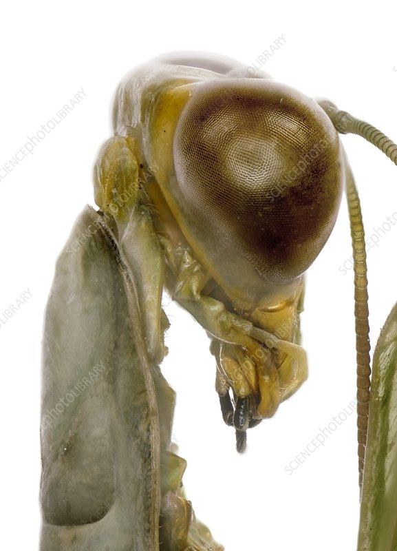 African mantis