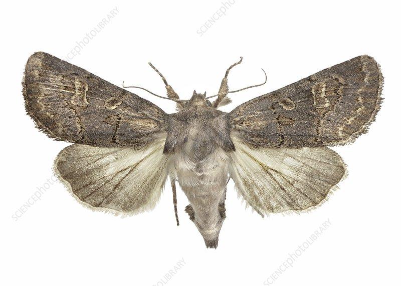 Hedge rustic moth
