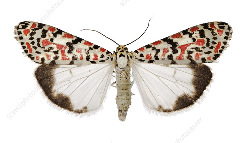 Crimson-speckled flunkey moth