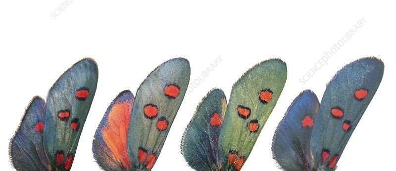 Burnet moth wings