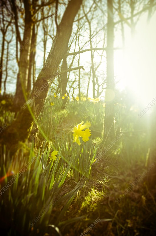 Daffodils (Narcissus sp.) in woodland