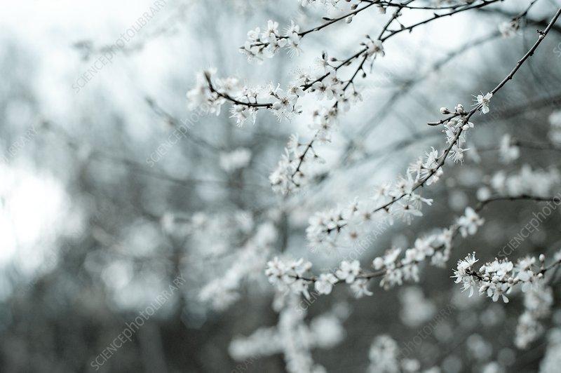 Tree in blossom