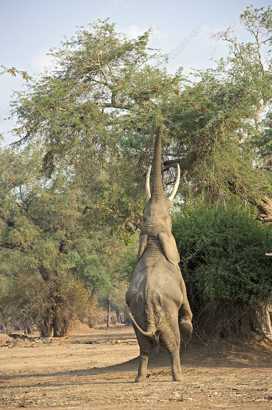 African elephant feeding from a tree