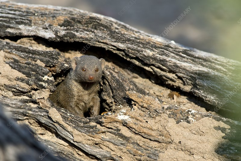 Dwarf mongoose in a hole