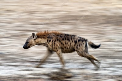 Spotted hyena running