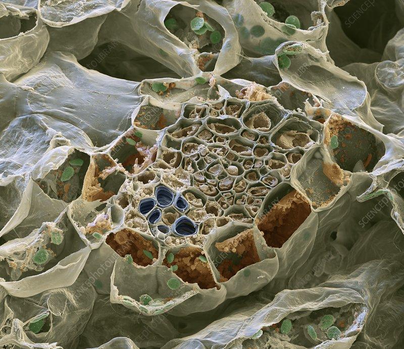 Vascular bundle, SEM