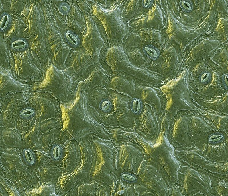 Cabbage leaf stomata, SEM