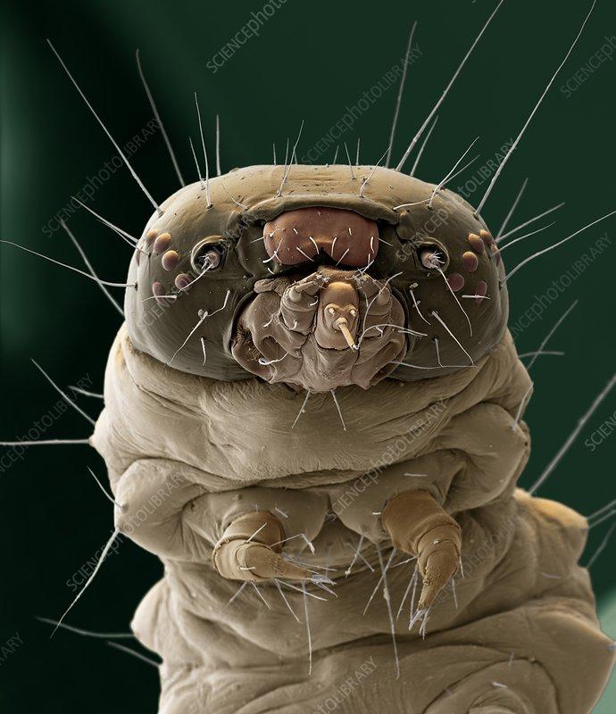 Box tree moth caterpillar, SEM