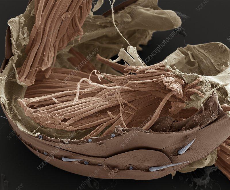 Flea muscle anatomy, SEM