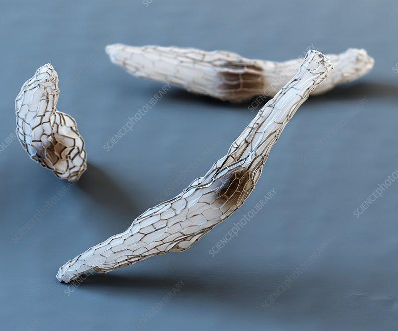 Orchid seeds, SEM