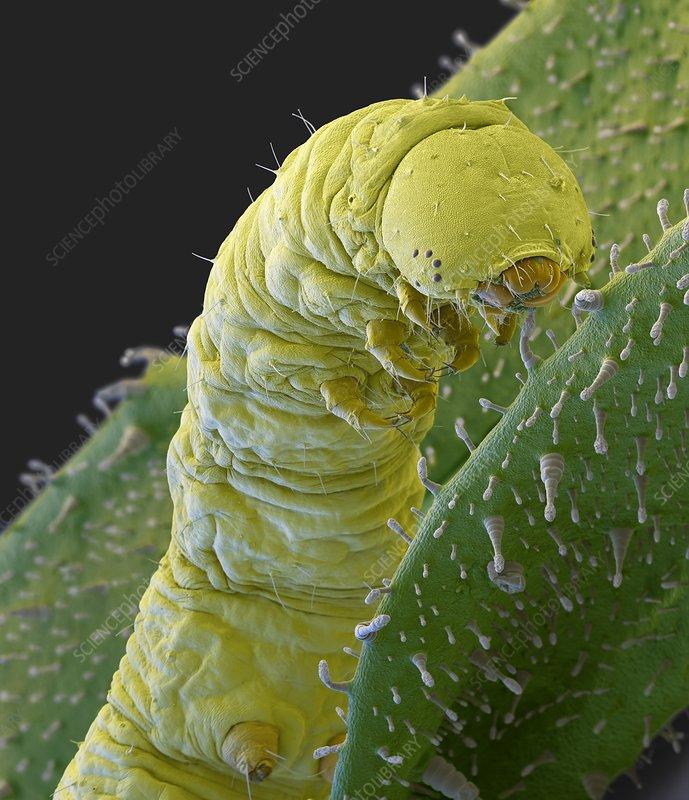 Caterpillar on tobacco plant, SEM