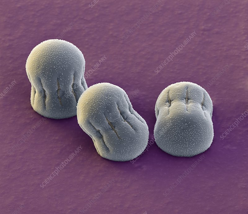 Comfrey pollen grains, SEM
