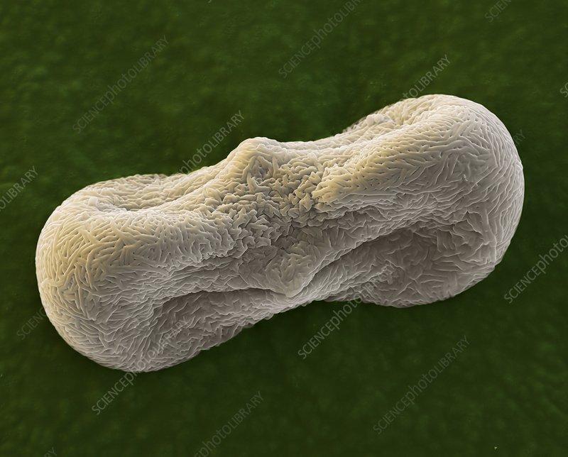 Coriander pollen, SEM