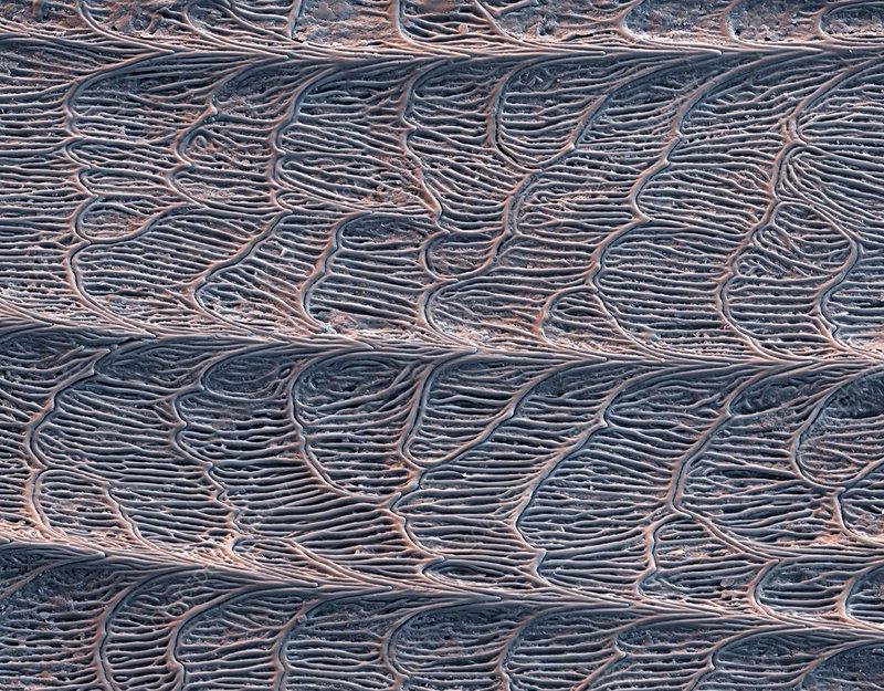 Grass snake skin, SEM