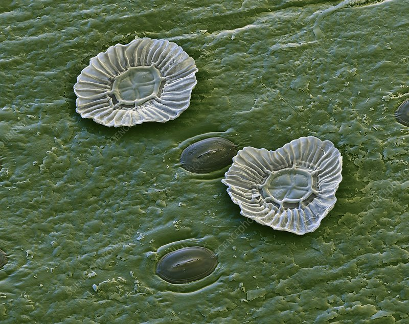 Bromeliad leaf, SEM