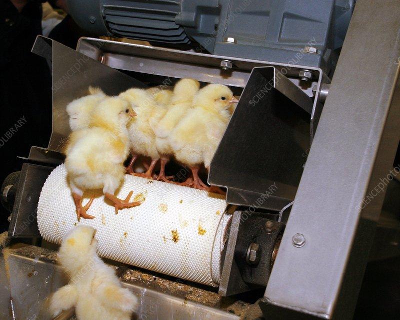 Chicks falling off a conveyor belt
