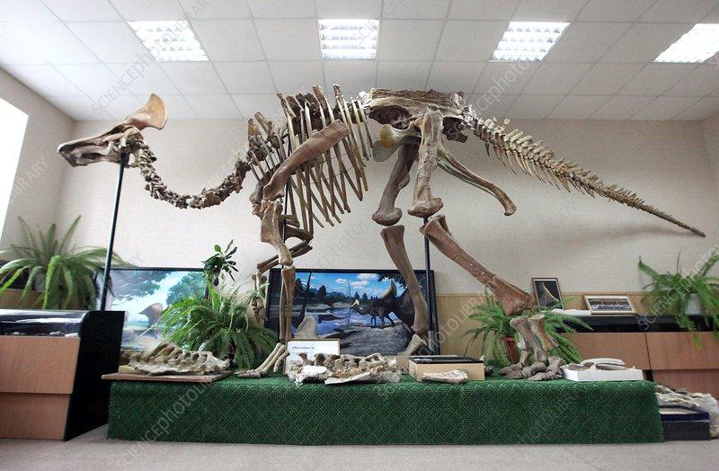 Hadrosaur skeleton in a museum