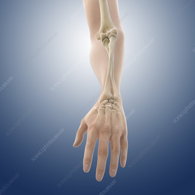 Pronation of the forearm, artwork - Stock Image C016/2851 - Science ...