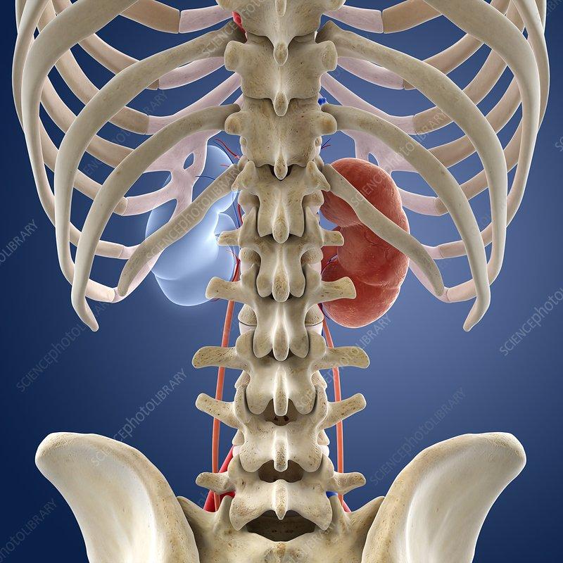 Single-kidney anatomy, artwork