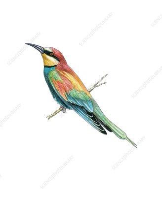 European bee-eater, artwork