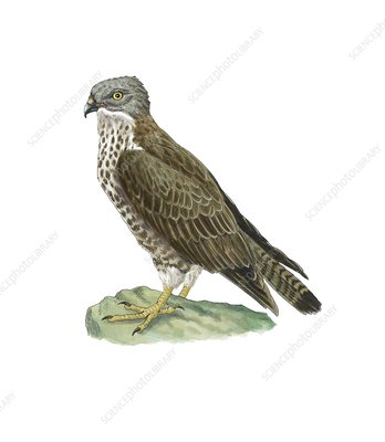 European honey buzzard, artwork