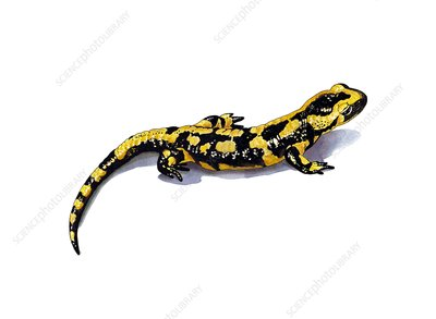 Fire salamander, artwork