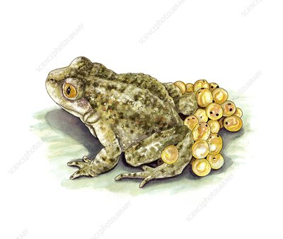 Common midwife toad and eggs, artwork