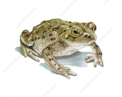 Common toad, artwork