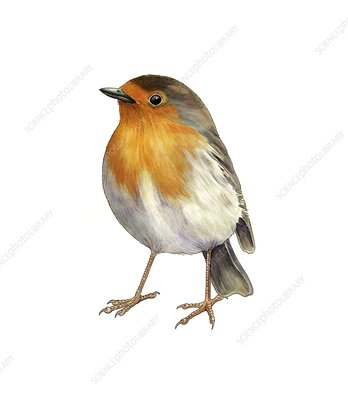 European robin, artwork
