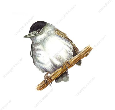 Eurasian blackcap, artwork
