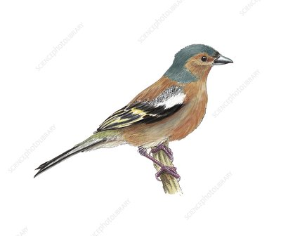 Chaffinch, artwork