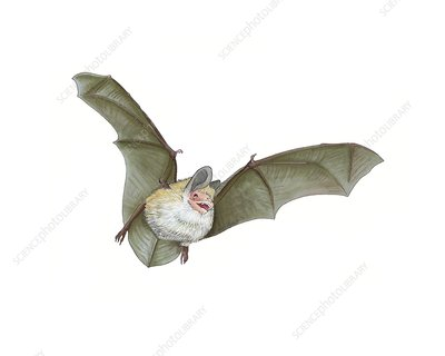 Daubenton's bat, artwork