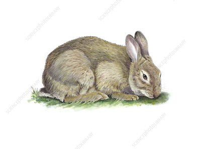 Common rabbit grazing, artwork