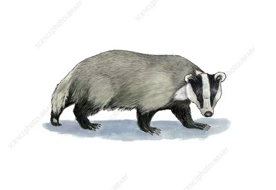 European badger, artwork