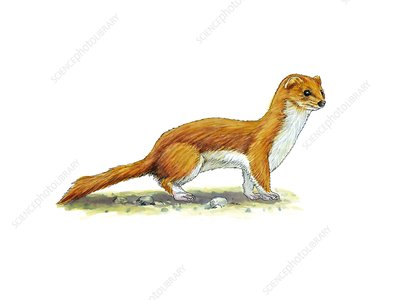 Least weasel, artwork
