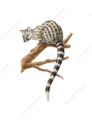 Common genet, artwork